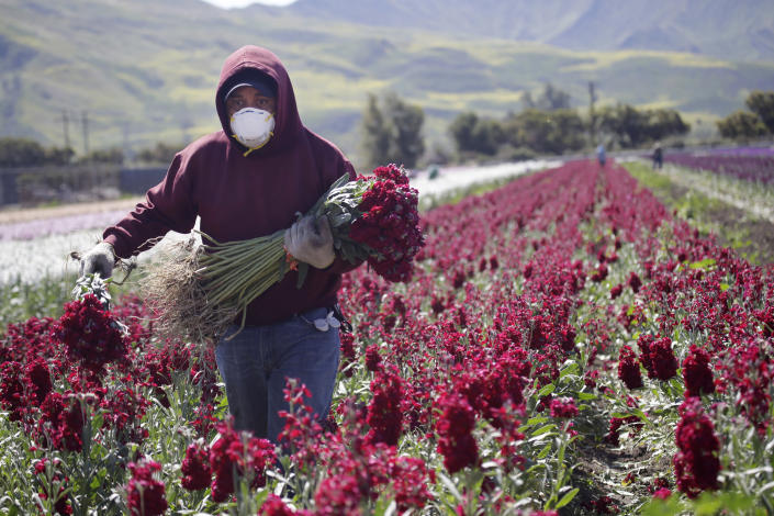 A farmworker, considered an essential worker under the current COVID-19 pandemic guidelines, wears a mask as he works at a flower farm in April in Santa Paula, Calif. (Marcio Jose Sanchez/AP)