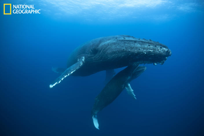"""Humpback whales gather every year in Mexico's Revillagigedo Archipelago. Mothers give birth to young while males arrive to mate. This mother and newborn calf allowed an inspiring interaction with divers and snorkelers. The mother calmly hovered at 40 feet while the baby played. In this image the baby mouthed the mother's ventral side. (Photo and caption Courtesy David Valencia / National Geographic Your Shot) <br> <br> <a href=""""http://ngm.nationalgeographic.com/your-shot/weekly-wrapper"""" rel=""""nofollow noopener"""" target=""""_blank"""" data-ylk=""""slk:Click here"""" class=""""link rapid-noclick-resp"""">Click here</a> for more photos from National Geographic Your Shot."""