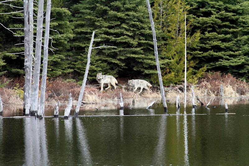 FILE - In this February 2012 file photo provided by George Desort, two gray wolves walk in the Isle Royale National Park in Northern Michigan. The national park's wolf population has fallen to eight, lowest since the 1950s, and scientists are debating whether to do anything about it. (AP Photo/George Desort. File)
