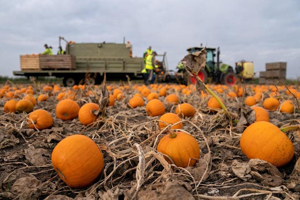 Tesco anticipates demand for pumpkins to be up 15% on last year now coronavirus restrictions have eased (Joe Giddens/PA) (PA Wire)