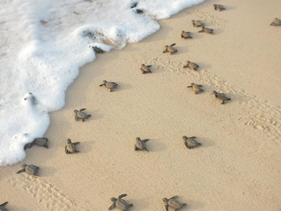 Loggerhead sea turtle hatchlings crawling to the sea in Cape Verde (Samir Martins/Bios)