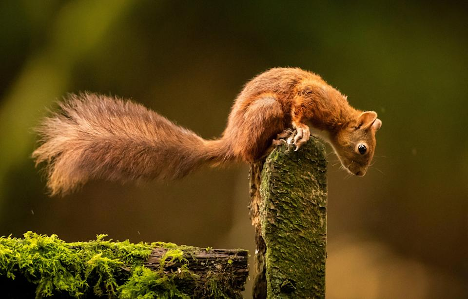 Red squirrels are under threat (Danny Lawson/PA) (PA Archive)