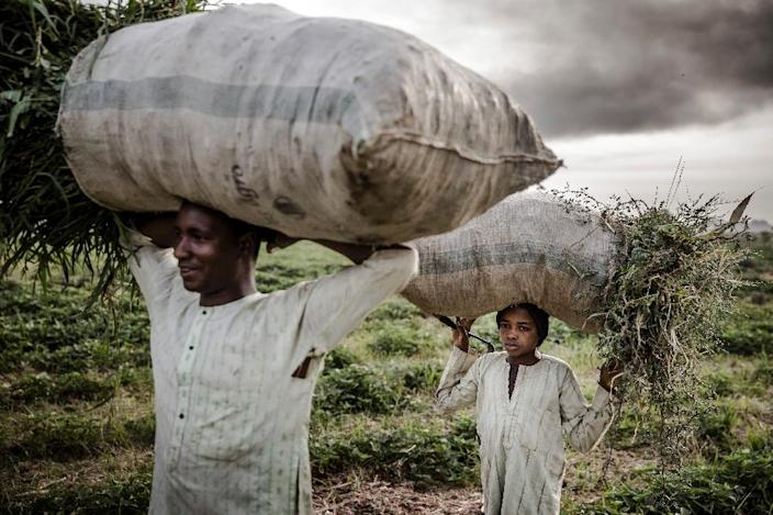 A Fulani farmer and his son working at a farm on the outskirts of Sokoto. Massive expansion of farming in Nigeria has cut access to grazing land for nomadic herders and helped fuel violence (AFP Photo/Luis TATO)