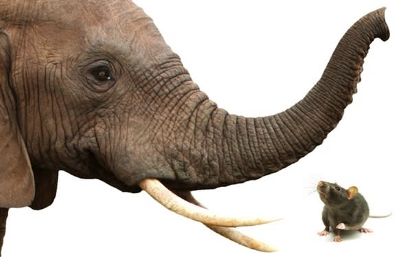 Elephants Can Outsniff Rats and Dogs
