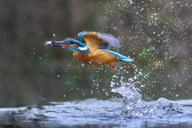A dramatic fish-eye view shows life from beneath the surface - as a hidden underwater camera captures the moment a kingfisher dives from above to catch its next meal