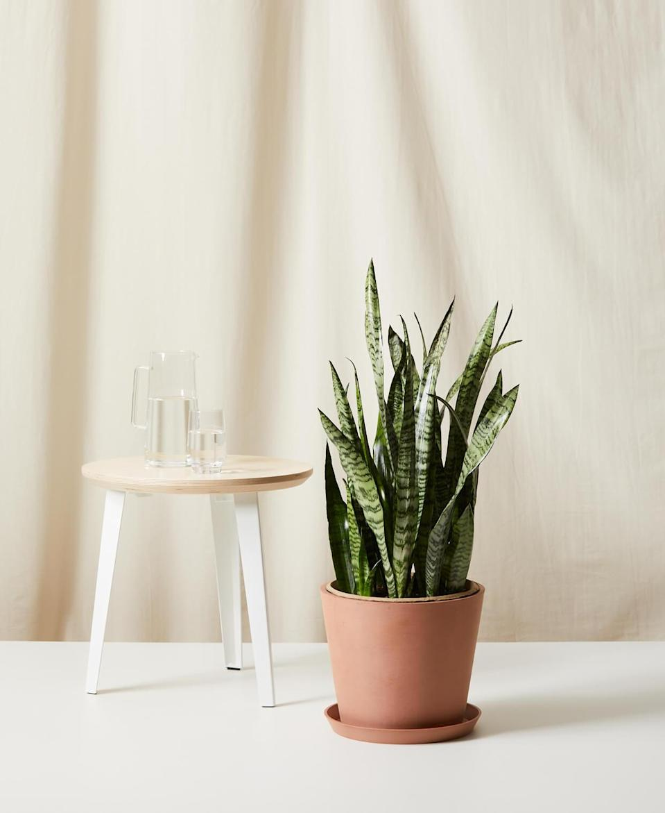 "<br><br><strong>Bloomscape</strong> 3-Foot-Tall Potted Sansevieria, $, available at <a href=""https://go.skimresources.com/?id=30283X879131&url=https%3A%2F%2Fbloomscape.com%2Fproduct%2Fsansevieria%2F"" rel=""nofollow noopener"" target=""_blank"" data-ylk=""slk:Bloomscape"" class=""link rapid-noclick-resp"">Bloomscape</a>"