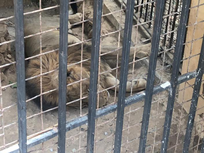 A year after the Beirut explosion and things are so bad in Lebanon, even the bears are suffering