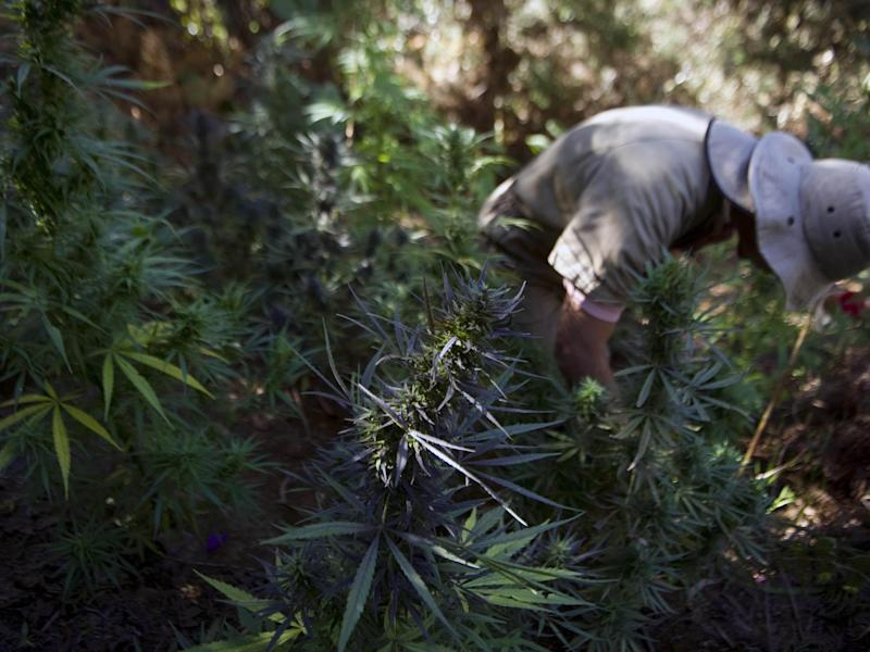 Pesticides and fertilisers used on cannabis farms have been poisoning wildlife within California's forests: Getty