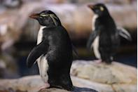 "<p><strong>Scientific classification:</strong> <em>Eudyptes chrysocome</em></p><p><strong>Location:</strong> Islands north of Antarctica</p><p>Named for their characteristic hopping movements, the southern rockhopper penguin can be found traversing the <a href=""https://www.worldwildlife.org/species/southern-rockhopper-penguin"" rel=""nofollow noopener"" target=""_blank"" data-ylk=""slk:rocky hillsides and cliffs"" class=""link rapid-noclick-resp"">rocky hillsides and cliffs</a> along the islands north of Antarctica, including New Zealand. Argentina, Chile, and the Falkland Islands, where they not only live, but breed. </p><p>To spot these little penguins—which only ever grow to become about four to six pounds and roughly two feet tall—look for their distinctive crest of <a href=""https://www.nationalgeographic.com/animals/birds/s/southern-rockhopper-penguin/#close"" rel=""nofollow noopener"" target=""_blank"" data-ylk=""slk:spiky black and yellow feathers."" class=""link rapid-noclick-resp"">spiky black and yellow feathers.</a> </p><p>According to <em>National Geographic, </em>these penguins are among the most numerous on the planet, and yet their island populations are decreasing. For instance, the colonies on the Falkland Islands were formerly the most populous, but due to pollution and commercial fishing, those numbers have plummeted—some estimates state that southern rockhopper penguins have declined by 30 percent over the past 30 years. </p>"
