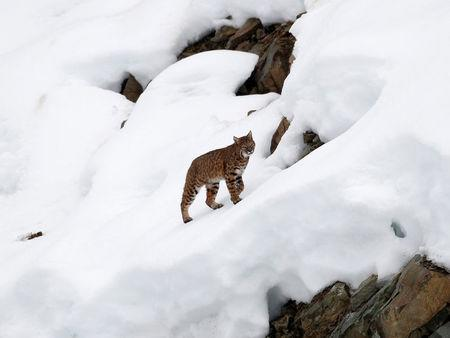 FILE PHOTO: A lynx climbing a hill after crossing the finish area during the first training run for the men's Downhill race of the Vancouver 2010 Winter Olympics in Whistler