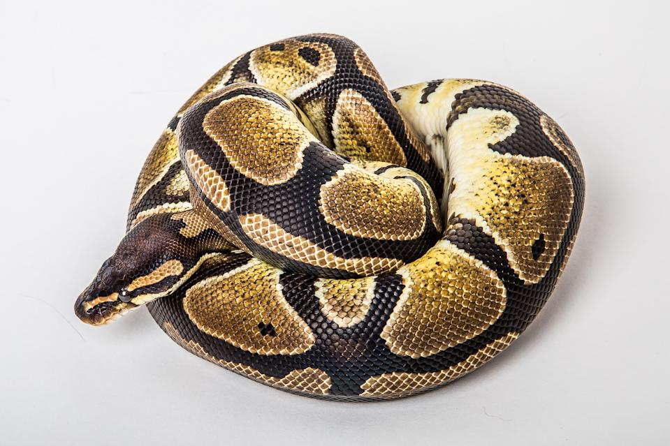 Closeup of a african coiled royal or ball python snake on a white background.