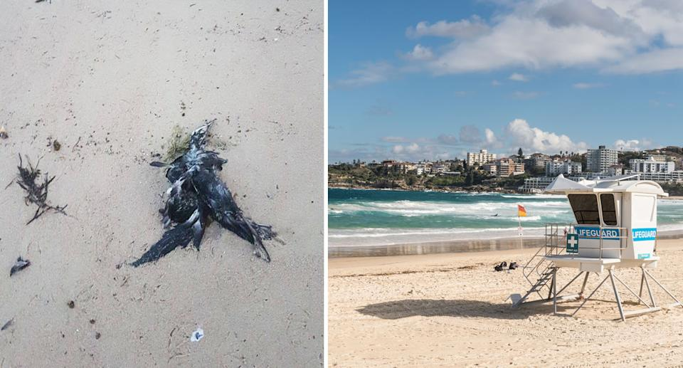 A dead shearwater on Bondi (left) and a shot of the famous beach (right).