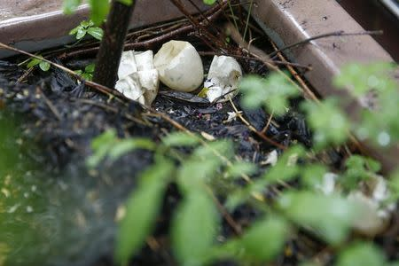 The shells of hatched duck eggs are seen on a high rise apartment roofdeck on the Upper East Side section of New York May 8, 2014. REUTERS/Shannon Stapleton