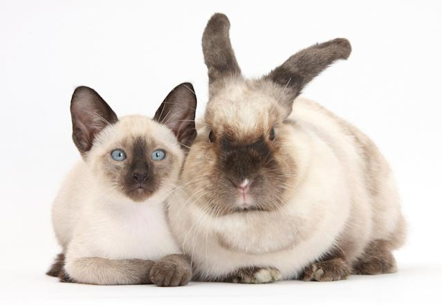 <p>Colourpoint rabbit and Siamese kitten, 10 weeks old. (Photo: Warren photographic/Caters News) </p>