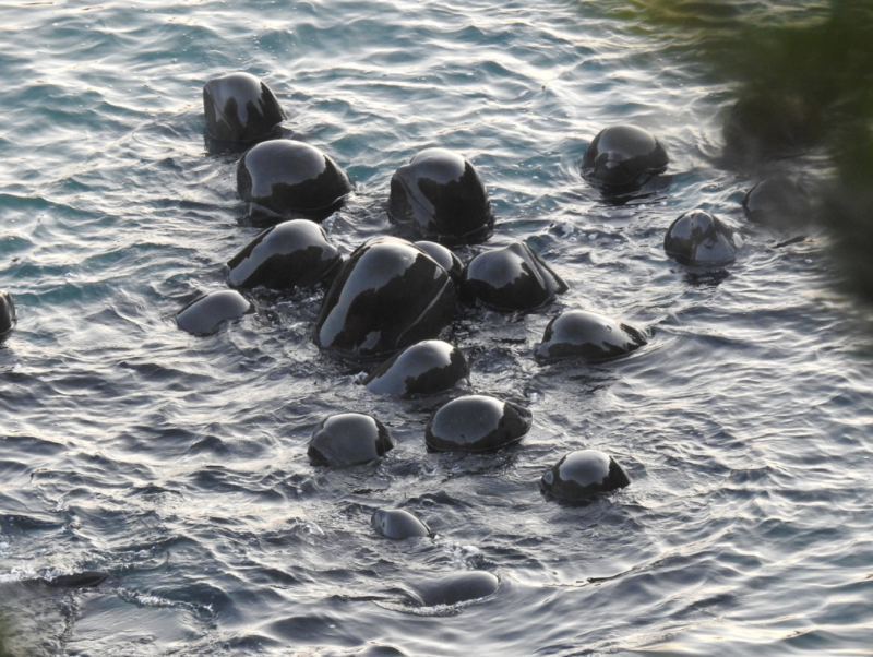 A group of black pilot whales huddled together in the water before they are slaughtered.