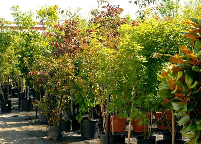 Several nursery trees in pots at a local market. Make sure you choose a type of tree that will fit the space you have for it.