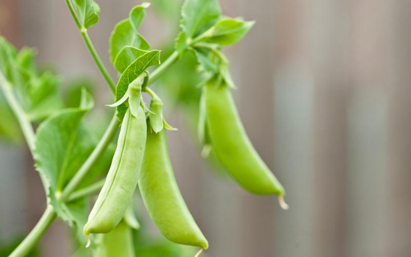 Warm temperatures and bugs and tampered with the levels of peas being grown in the UK this summer. - Getty Images Contributor