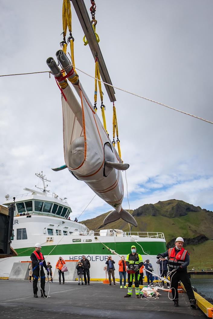 The whales' new home is the world's first open-water sanctuary for belugas at Klettsvik Bay off the south coast of Iceland. (PA)