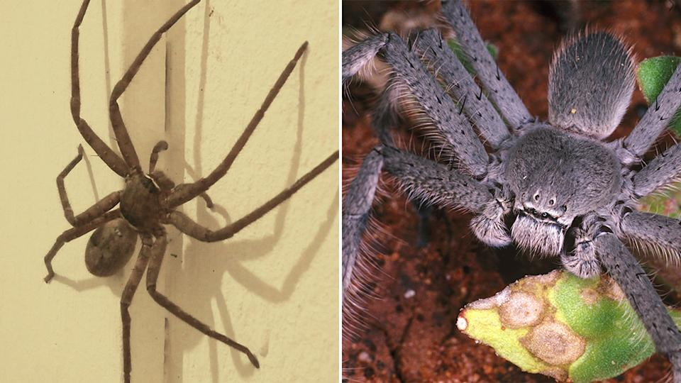 A woman took to Facebook to thank a stranger who got rid of a huntsman spider from her car. Source: Getty Images.