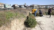 Volunteers attach recycled Christmas trees to the sand at Surfside Beach, Texas, in a yearly campaign to protect sensitive dunes from being washed away by storms