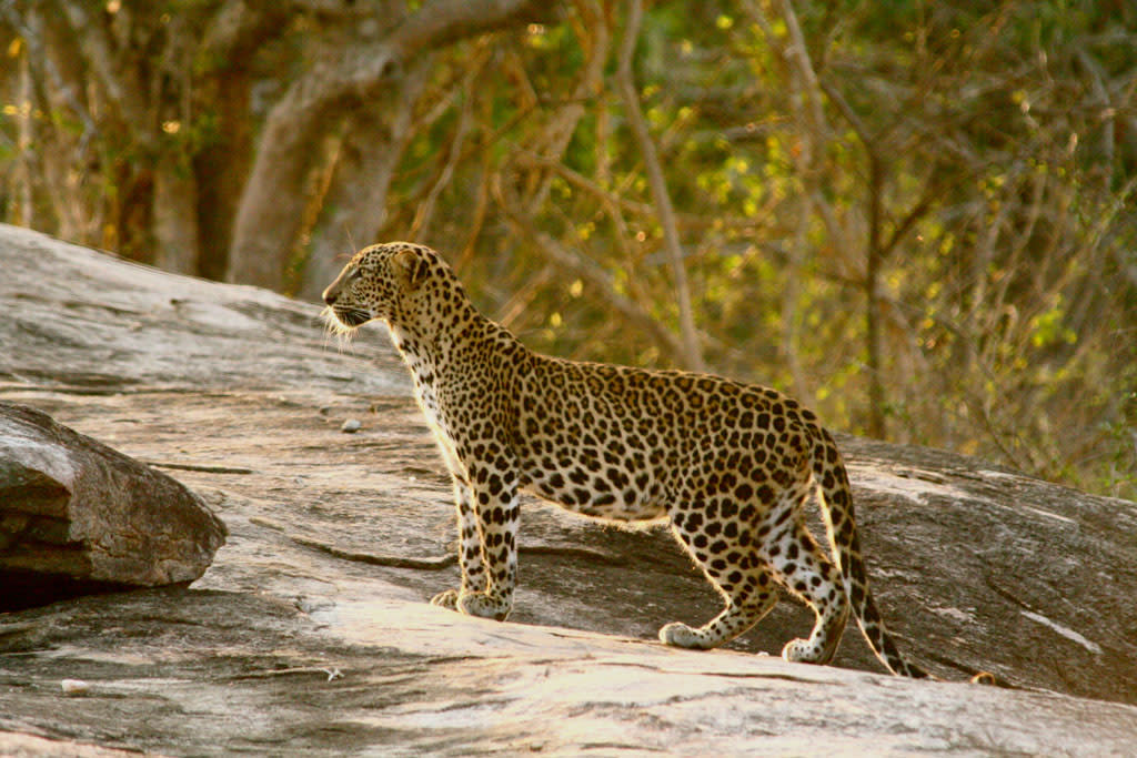 LeopardThe leopard is so strong and comfortable in trees that it often hauls its kills into the branches. Leopards can also hunt from trees, where their spotted coats allow them to blend with the leaves until they spring with a deadly pounce.(Photo is from Leopard Battleground ? Tue at 8)