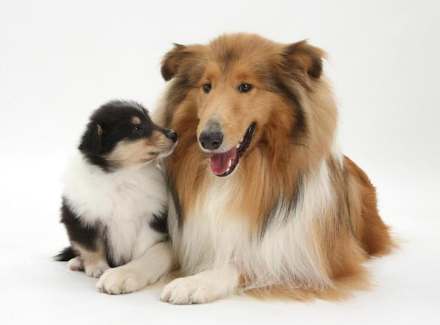 <p>Sable rough collie dog and her tricolour puppy, 7 weeks old. (Warren Photographic/Mercury Press) </p>