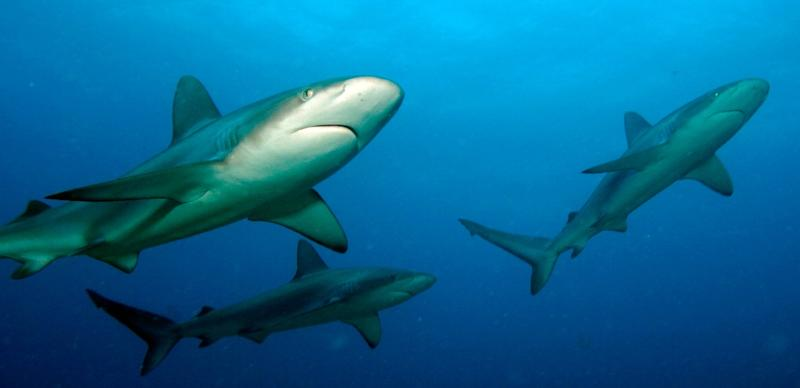 There have been 18 shark attacks near the Indian Ocean island of La Reunion since 2011
