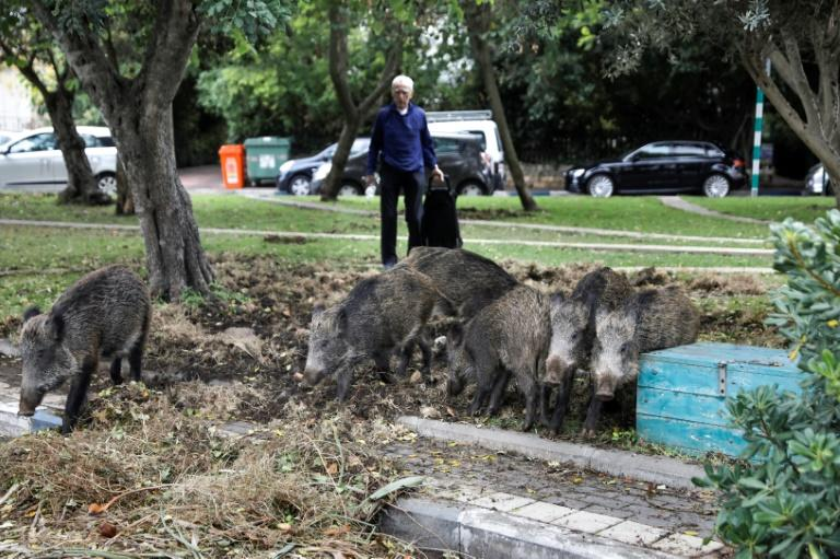 The pigs rip up vegetation and rummage through bins, sparking a debate between animal rights defenders and those in favour of driving them out