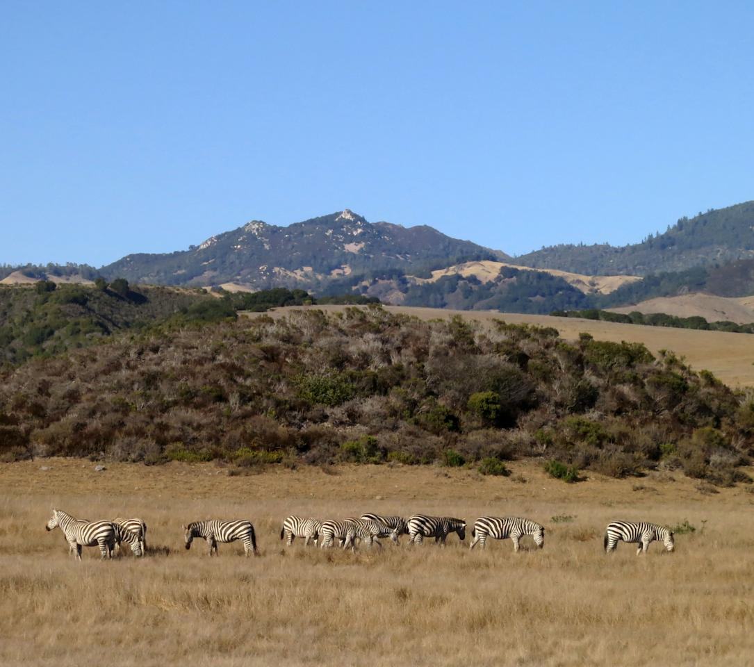 This Aug. 29, 2013 photo shows zebras from the Hearst Ranch are seen from the Pacific Coast Highway in San Simeon, Calif. Newspaper publisher William Randolph Hearst built a 165-room estate on the property, which also once boasted the world's largest private zoo. (AP Photo/Jim MacMillan)