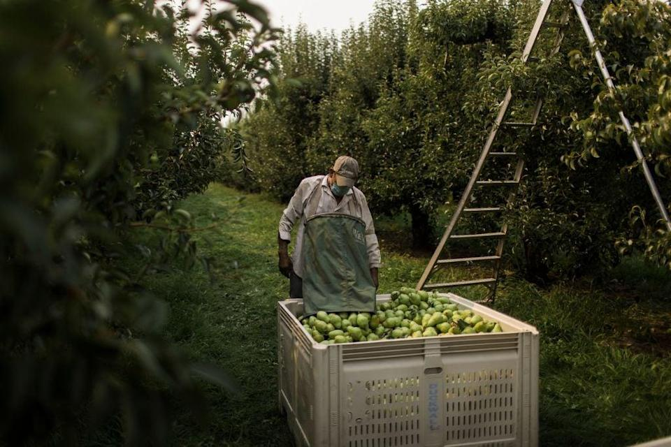 An orchard worker unloads a bag of pears in Hood River, Oregon on August 13. Amid an abnormal heat wave in the Pacific Northwest, farm workers are having their days, and profits, cut short by the extreme temperatures (AFP via Getty Images)
