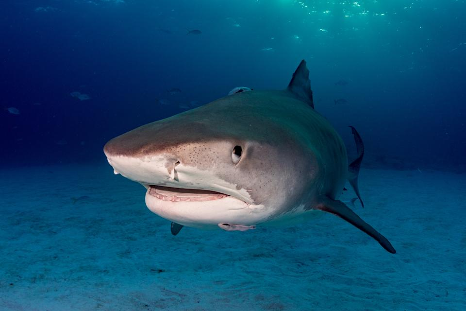 A Tigershark in the shallow water of the Bahamas in USA