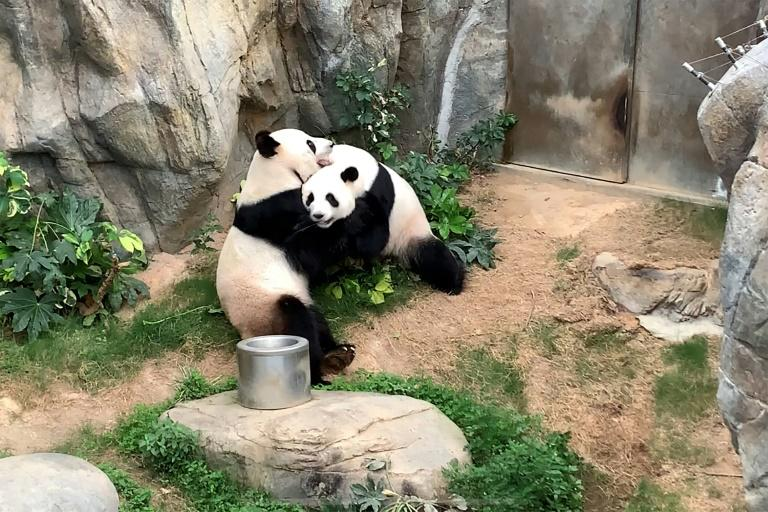 Like half the planet, Ying Ying and Le Le have only really had each other for company since coronavirus-caused lockdowns shut off the flow of guests to their themepark pad