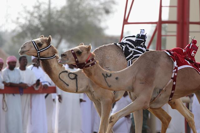 DUBAI, UNITED ARAB EMIRATES - APRIL 16: A camel is whipped by a robotic jockey during Al Marmoom Heritage Festival at the Al Marmoom Camel Racetrack on April 16, 2014 in Dubai, United Arab Emirates. The festival promotes the traditional sport of camel racing within the region. (Photo by Francois Nel/Getty Images)