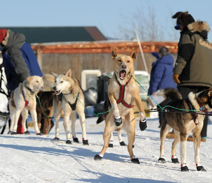 One of Hans Gatt's dogs is ready to go as Gatt made a brief stop at the Yukon River village of Kaltag during the 2014 Iditarod Trail Sled Dog Race on Saturday, March 8, 2014. (AP Photo/The Anchorage Daily News, Bob Hallinen)