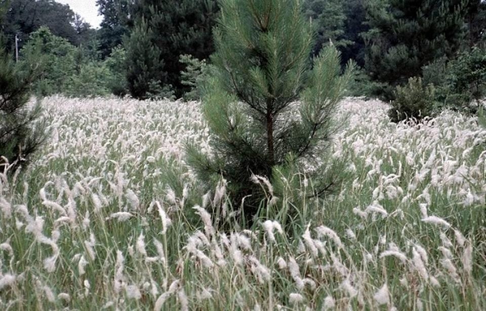 Cogongrass is an invasive grass species from Asia that has taken root across the Southeast region of the U.S., forestry officials say.