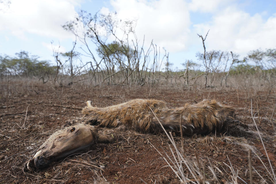 This image provided by Honolulu Civil Beat shows a dead axis deer in a field on the island of Molokai in Hawaii on Jan. 15, 2021. Axis deer, a species native to India that were presented as a gift from Hong Kong to the king of Hawaii in 1868, have fed hunters and their families on the rural island of Molokai for generations. But for the community of about 7,500 people where self-sustainability is a way of life, the invasive deer are a cherished food source but also a danger to the island ecosystem. Now, the proliferation of the non-native deer and drought on Molokai have brought the problem into focus. Hundreds of deer have died from starvation, stretching thin the island's limited resources. (Cory Lum/Honolulu Civil Beat via AP)
