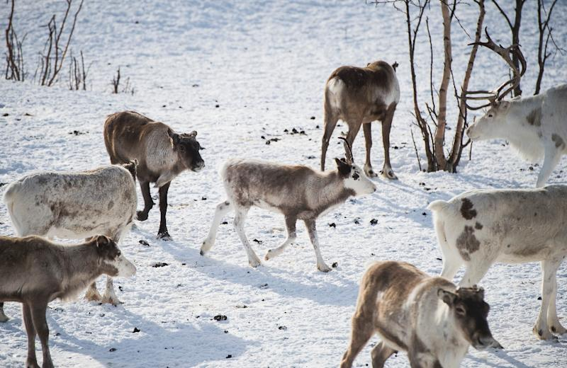 More than 2,000 animals including deer were killed by trains in Norway last year (AFP Photo/Jonathan NACKSTRAND)