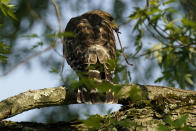 A red-shouldered hawk perches in a tree with a worm in its mouth, Monday, May 17, 2021, in Columbia, Md. (AP Photo/Carolyn Kaster)