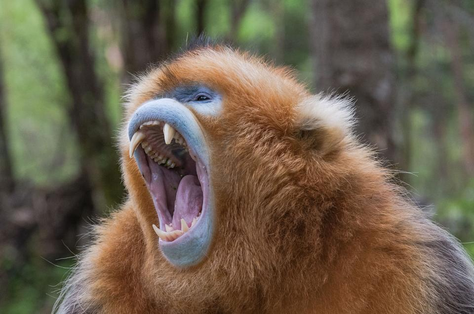 Photo taken on May 19, 2021 shows a golden monkey at Dalongtan Golden Monkey Research Center in Shennongjia National Park of central China's Hubei Province. Thanks to the efforts of local authority and the improvement of environment in the past years, the number of golden monkeys in Shennongjia has reached 1,471 nowadays. (Photo by Rao Rao/Xinhua via Getty Images)
