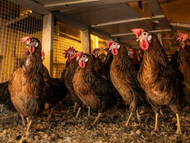 Livestock like poultry, pictured here, are also suffering from the excessive temperatures in B.C.  (John Ulan/University of Alberta - image credit)