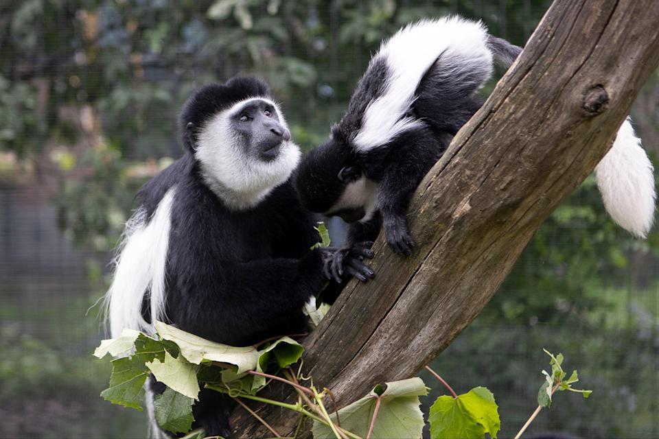 Colobus monkeys will populate the transformed enclosure at London Zoo (Will Amlott / ZSL London Zoo)