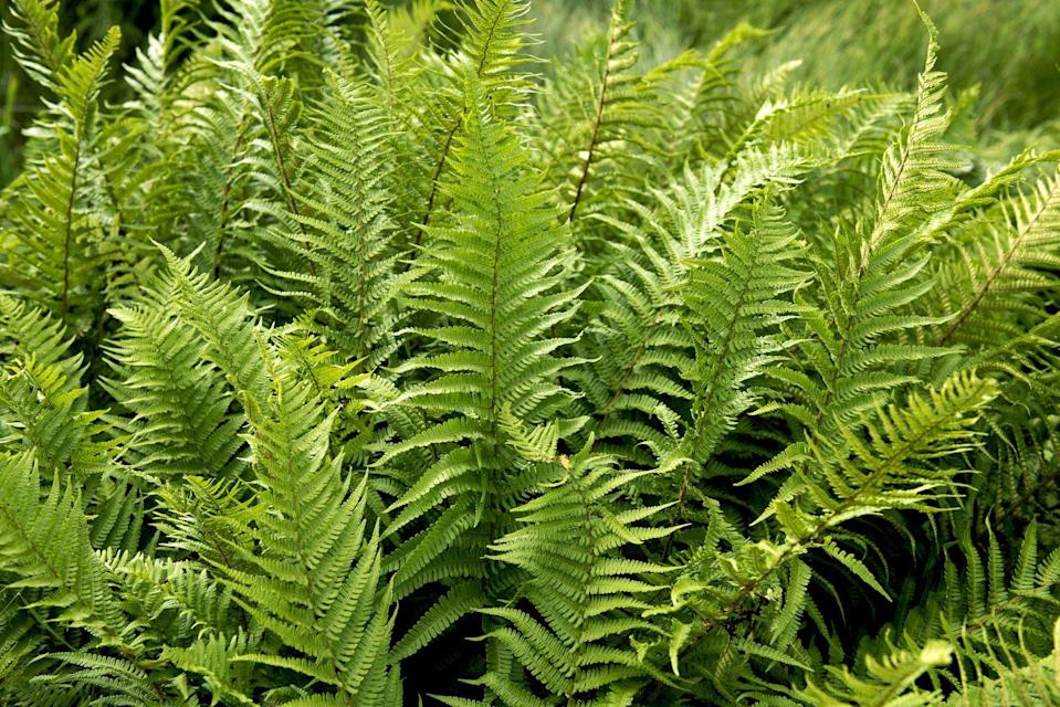 "<p>Ferns come in an array of shapes, sizes, and colors. Planted in groupings, it makes a lovely ground cover. It prefers moist ground, drought-tolerant once established, and needs full shade.</p><p><a class=""link rapid-noclick-resp"" href=""https://go.redirectingat.com?id=74968X1596630&url=https%3A%2F%2Fwww.etsy.com%2Flisting%2F806818105%2Fandorra-juniper-plumosa-fern-plant&sref=https%3A%2F%2Fwww.goodhousekeeping.com%2Fhome%2Fgardening%2Fg32440508%2Fbest-ground-cover-plants%2F"" rel=""nofollow noopener"" target=""_blank"" data-ylk=""slk:SHOP NOW"">SHOP NOW</a></p>"