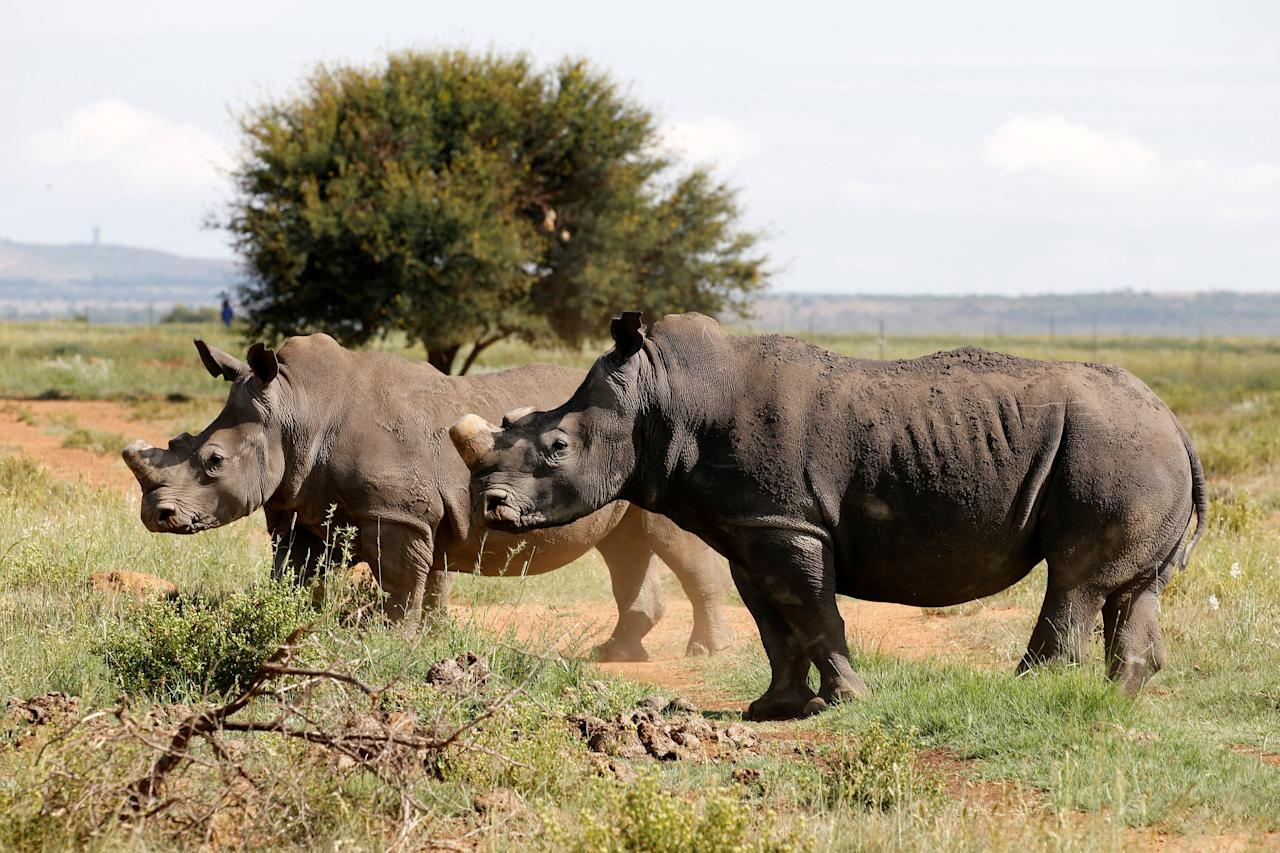FILE PHOTO: Black rhinos, one of the world's endangered animals, are seen at a farm outside Klerksdorp, South Africa, February 24, 2016. REUTERS/Siphiwe Sibeko/File Photo