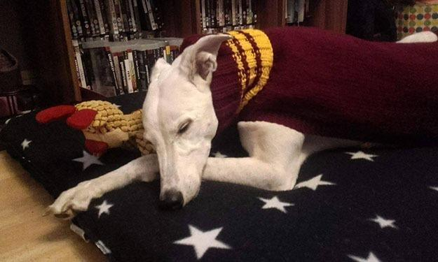 """<p>""""I started knitting from an early age, and after making a few coats for my own greyhounds, it seemed like a great way to help the animal shelters."""" Brown told <a href=""""http://www.mirror.co.uk/news/uk-news/devoted-dog-lover-spends-more-6931742"""">the <i>Mirror</i></a><i>.</i><i>(Photo: Jan Brown via <a href=""""https://www.facebook.com/KnittedDogClothes/photos_stream"""">Facebook</a>)</i><br /></p>"""