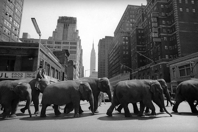 <p>Elephants parade towards Madison Square Garden in New York City on April 2, 1968, where the Ringling Brothers Barnum and Bailey Circus opens the same night. The elephants were part of a herd of 17 which will appear at the Garden. (AP Photo/John Lindsay) </p>