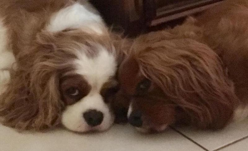Photo shows cavalier best friends Toby (left) and Jaxon (right). They have both died.
