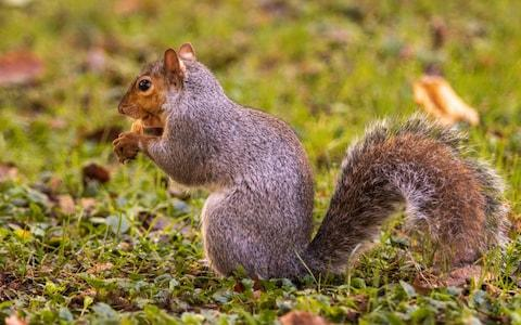 Squirrels in South Korea are at risk of starvation after humans have begun eating acorns in their droves. - Credit: Apostoli Rossella /Moment RF