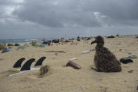 In this April 4, 2021 photo provided by Matthew Chauvin, a Laysan albatross chick nests next to a surfboard that washed ashore on Laysan Island in the Northwestern Hawaiian Islands. A crew has returned from the remote Northwestern Hawaiian Islands with a boatload of marine plastic and abandoned fishing nets that threaten to entangle endangered Hawaiian monk seals and other marine animals on the tiny, uninhabited beaches stretching for more than 1,300 miles north of Honolulu. (Matthew Chauvin, Papahanaumokuakea Marine Debris Project via AP)