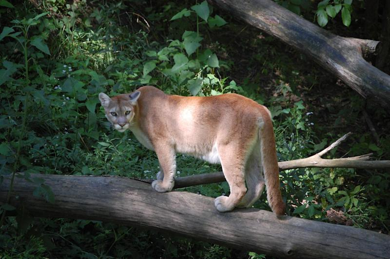 Mountain Lion: Flickr