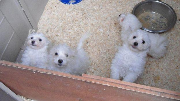 The ill dogs were sold for up to £650 to families across the UK